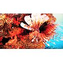Photo Print of Lion Fish