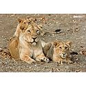 Lioness with Cubs in Gir Forest, Gujarat