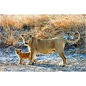 Lioness with Cub in Gir Forest, Gujarat