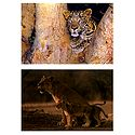 Lioness with Cub and Leopard - Set of 2 Pictures