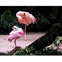 Flamingos - Photographic Print