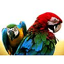 Colorful Parakeets - Photographic Print