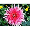 Shades of Pink Dahlia