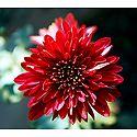 Red Dahlia - Photo Print