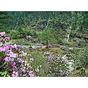 Blooming Rhododendron in Shingba Sanctuary, Yumthang - North Sikkim, India