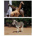 Giraffe and Zebra - Set of 2 Postcards
