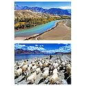 Indus River and Nomad with Flock, Ladakh - Set of 2 Postcards