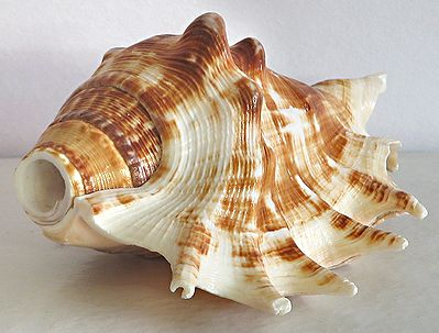 Sea Shell for Decoration