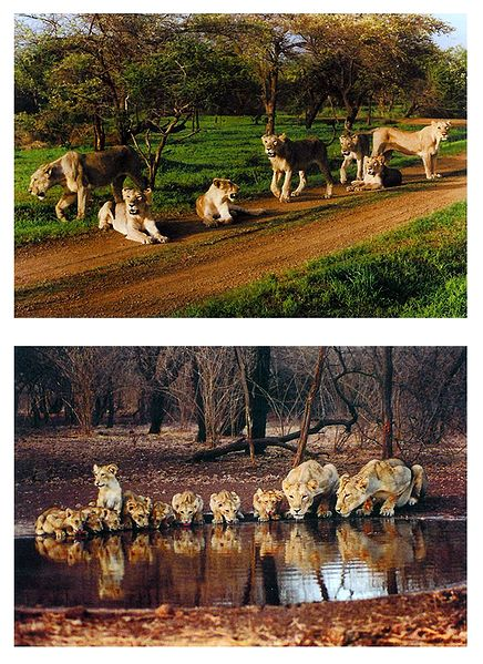 A Group of Lions - Set of 2 Pictures