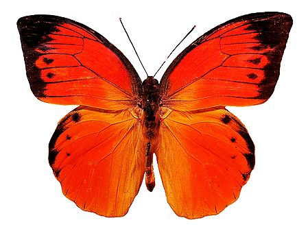 Lexias Dirtea, the Archduke Butterfly - Photographic Print