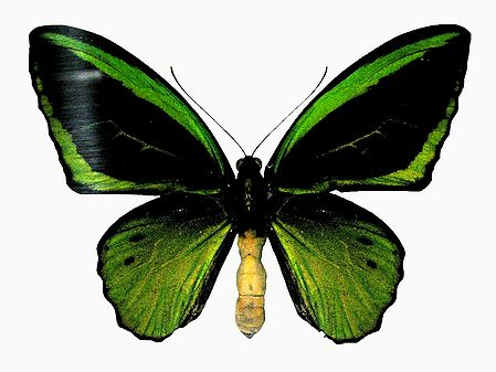 Green Birdwing Butterfly - Photographic Print
