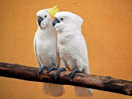Cockatoo Couple - Photographic Print