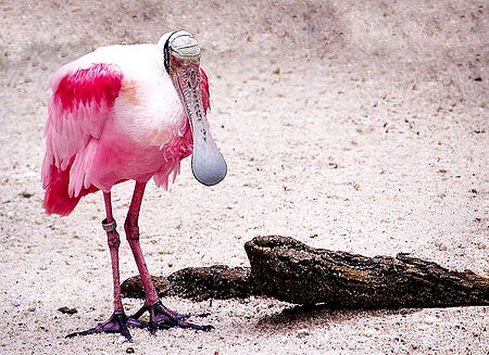 Roseate Spoonbill - Photographic Print