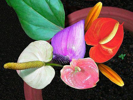 Colorful Anthurium