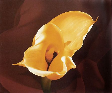 Yellow Anthurium