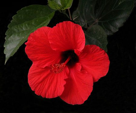 Dark Red Hibiscus