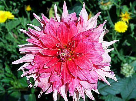 Shades of Pink Dahlia