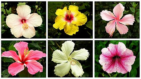 Set of 6 Colorful Hibiscus Photos