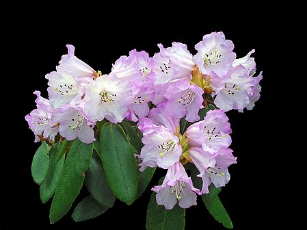 White with Magenta Rhododendron in Shingba Sanctuary, Yumthang - North Sikkim, India