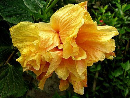 Light Saffron Hibiscus