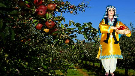 Kashmiri Apple Plucker Photo - Unframed Photo Print on Paper
