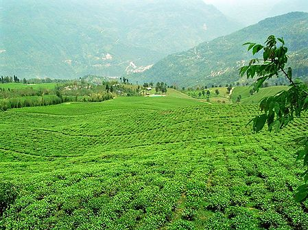 Temi Tea Garden in Ravangla - South Sikkim, India