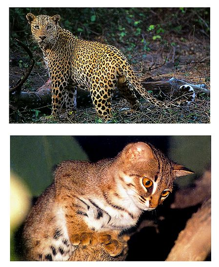 Panther and Rusty Spotted Cat - Set of 2 Postcards