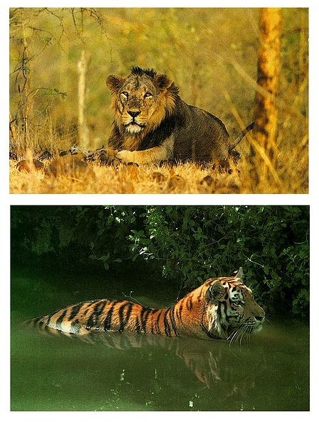 Asiatic Lion and Royal Bengal Tiger - Set of 2 Postcards