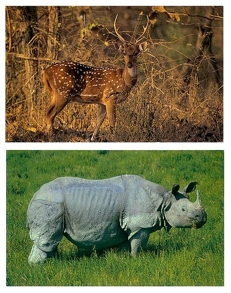 Chital and Rhinoceros - Set of 2 Postcards