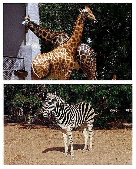Giraffe and Zebra - Set of 2 Postcards