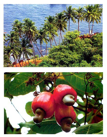 Bat Island and Ripe Cshewnuts, Goa, India - Set of 2 Postcards