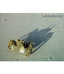 Crab on Lakshadweep Beach - Poster