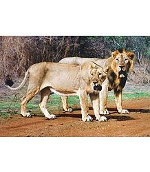Lion and Lioness in Gir Forest, Gujarat