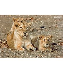 Lioness with Cubs - Photographic print