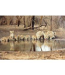 Two Lioness with Cubs in Gir Forest, Gujarat