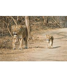 Lioness with Cub - Photographic print