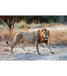 Lion - King of the Jungle in Gir Forest, Gujarat