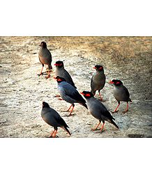 Indian Mynah - Photographic Print