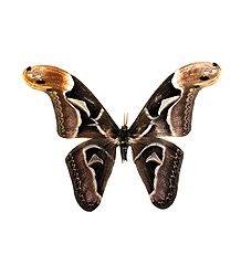 Edward's Atlas Moth - Photographic Print
