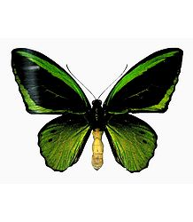 Green Birdwing Butterfly - Photo Print