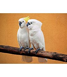 Photo Print of Cockatoo Couple