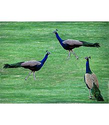 3 Peacocks in Playful Mood - Photographic Print