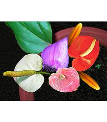 Colorful Anthurium