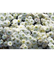 White Chrysanthemums Photo - Photographic Print