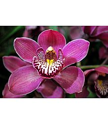 Cymbidium Orchid - Photo Print