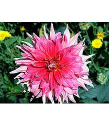 Shades of Pink Dahlia - Photographic Print