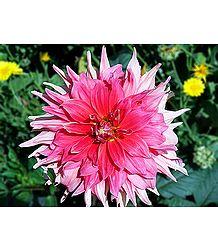 Shades of Pink Dahlia - Photographic Print