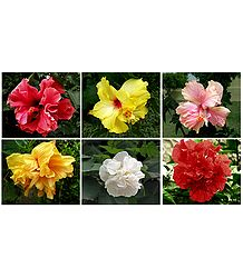 Set of Six Colorful Hibiscus Photos