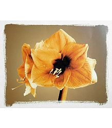 Yellow Lily - Unframed  Poster