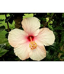 Light Peach Hibiscus
